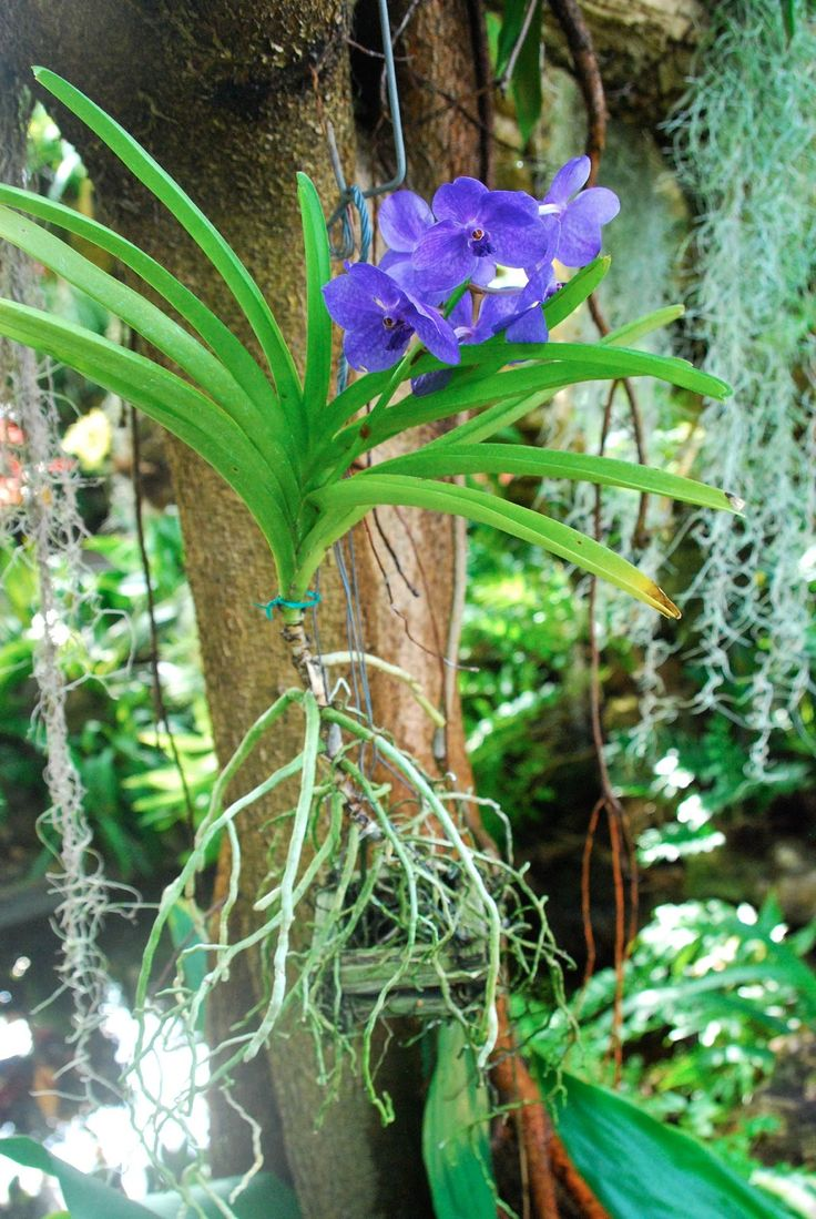 Blue Vanda orchid @Phipps Conservatory. The pool below raises the humidity.