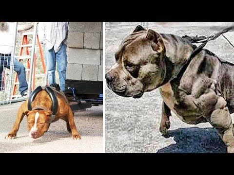 The Strongest Dog Breeds In The World Youtube Dog Breeds Dogs