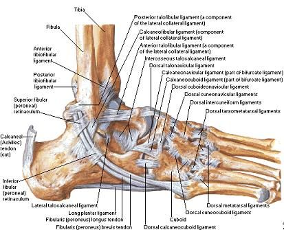 blank leg diagram medial ankle pain | ligamentsof the foot and ankle ...