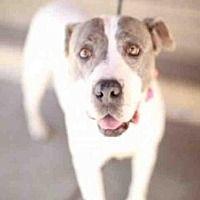 Downey, California - Pit Bull Terrier. Meet PHANTOM, a for adoption. https://www.adoptapet.com/pet/20468781-downey-california-pit-bull-terrier