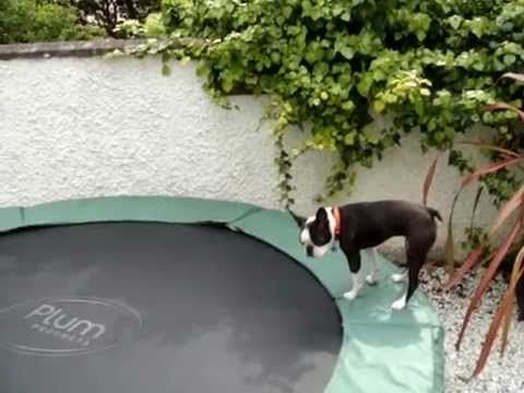 Boston Terrier bouncing on trampoline | The Animal Rescue Site Blog