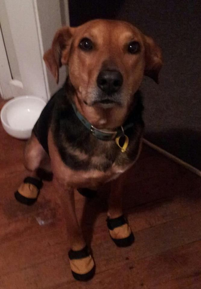 Dog in shoes