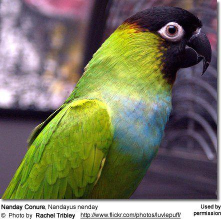 Nanday Conure