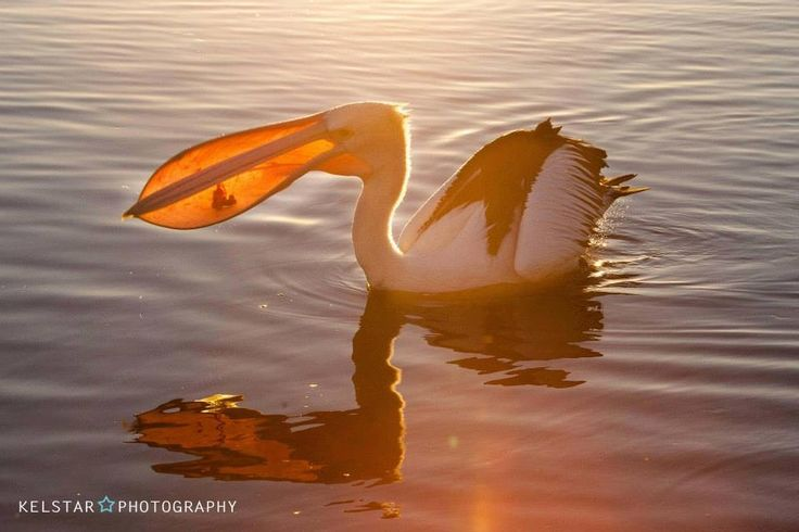 Pelican at the entrance NSW