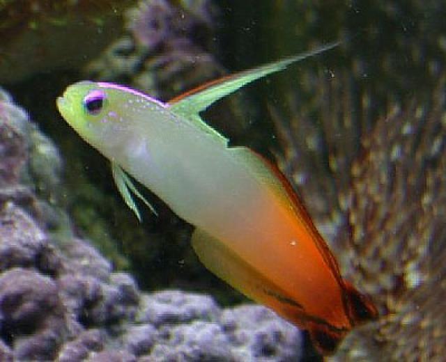 Great Beginner Fish for a Saltwater Aquarium: Firefish (Nemateleotris magnifica)