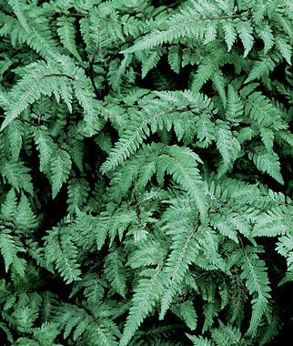 Japanese Painted Fern Seeds and Plants, Perennnial Flowers at Burpee.com