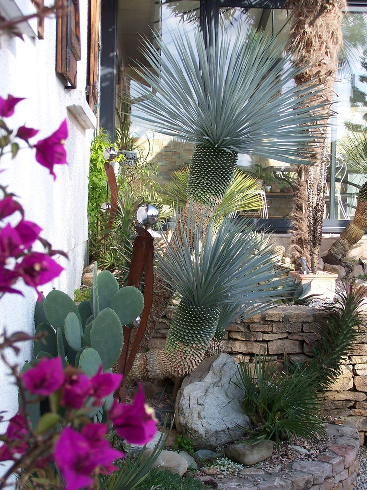 """Yucca. (""""yucca rostrata et bougainvillier."""" From Chrome research: """"Yucca is a genus of perennial shrubs and trees in the family Asparagaceae, subfamily Agavoideae. Its 40-50 species are notable for their rosettes of evergreen, tough, sword-shaped leaves and large terminal panicles of white or whitish flowers. Wikipedia."""""""