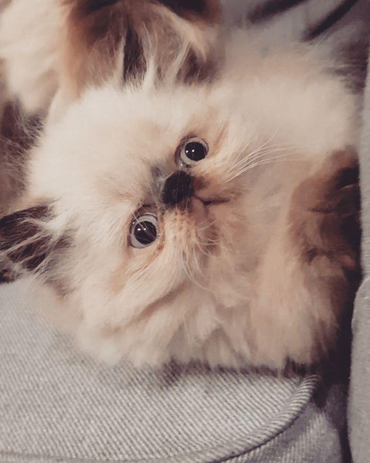 جر شكل مو طبيعي ماشاء الله تبارك الله للبيع النوع هيمالايا بيكي فيس اللون هيمالايا بلو كوت الجنس Cats Cats Pets Animals