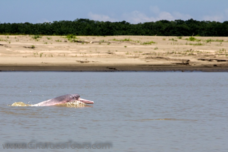 Leticia. Amazonas. Colombia, Toninas, Delfines rosados