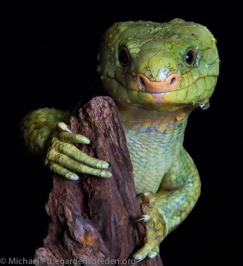 ✯ Lizard - Corucia Zebrata ..By Michael Kern✯: Reptiles, Animal Pictures, Animal Photo, Corucia Zebrata, Monkey Tail, Islands Prehensil, Solomon Islands, Lizards, Beautiful Creatures