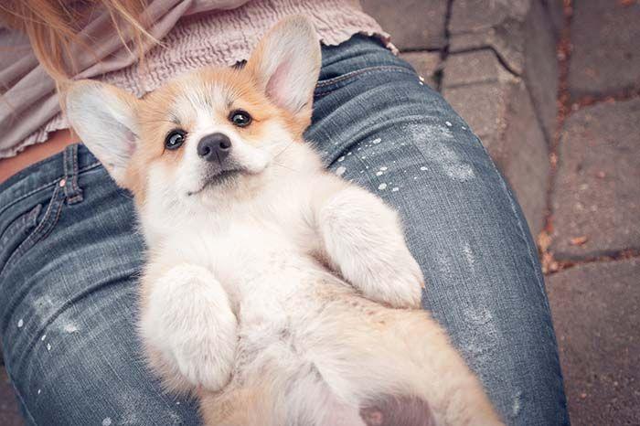 11 Popular Calm And Mild Tempered Small Dogs Calm Dog Breeds Calm Dogs Corgi Dog