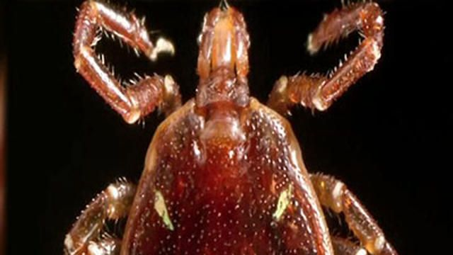 """The bugs harbor a sugar that humans don't have, called alpha-gal. The sugar is also found in red meat — beef, pork, venison, rabbit — & even some dairy products.  Louise Danzig, a 63-year-old from eastern Long Island, Hours after eating a burger, """"I woke up with very swollen hands that were on fire with itching,"""" As she headed downstairs, to phone for help, """"I was losing my ability to speak &  my airway was closing.""""  A blood test confirmed the meat allergy."""