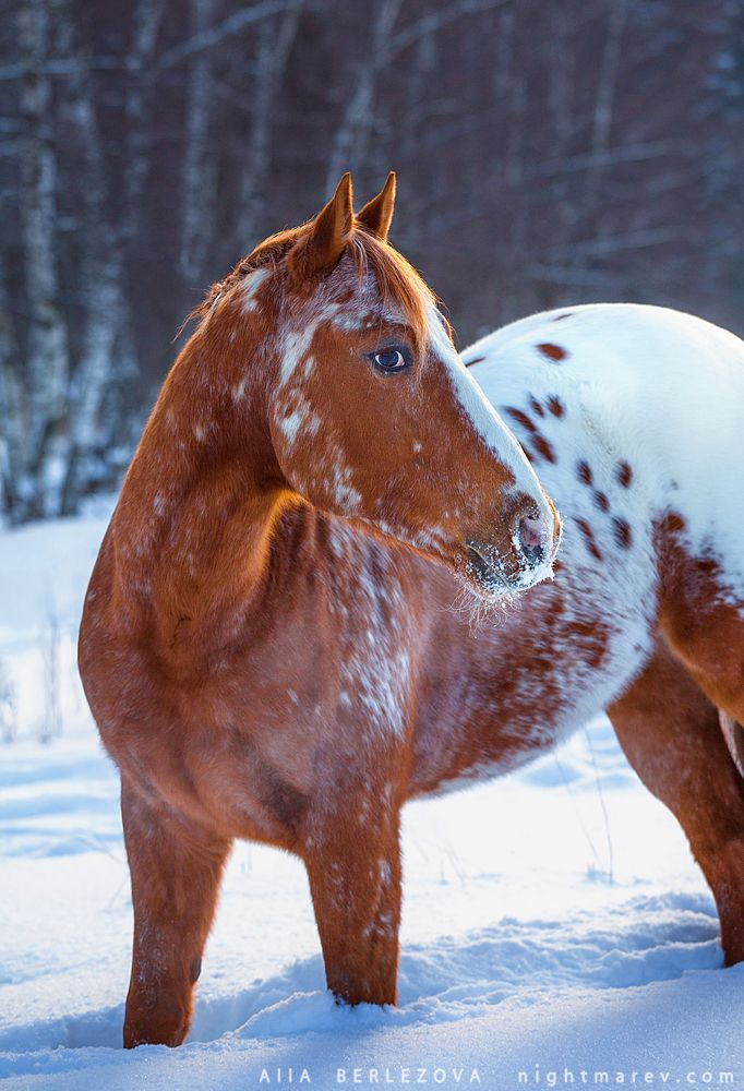 I saw a horse like this recently and it was beautiful, just it wasn't in snow.