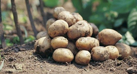 Alla kan odla potatis | Blomsterlandet.se