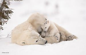 Warm embrace by Debra Garside, Canada'When polar bear mothers and cubs emerge from their dens in the early spring, the cubs stay close to their mothers for warmth and protection ... Debra waited six days near the den of this family, in Wapusk national park, Manitoba, Canada, before they finally emerged. In the most challenging conditions she has ever faced, temperatures ranged from -35C (-31F) to -55C (-67F) with high winds, making it almost impossible to avoid frostbite and keep her camera…