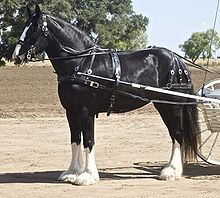 Shire Horse, an endangered horse breed (breed at risk, Rare Breeds Survival Trust, U.K.). United Kingdom. A tall black horse with four white legs, standing in harness, with shafts of a cart visible. Wikipedia.