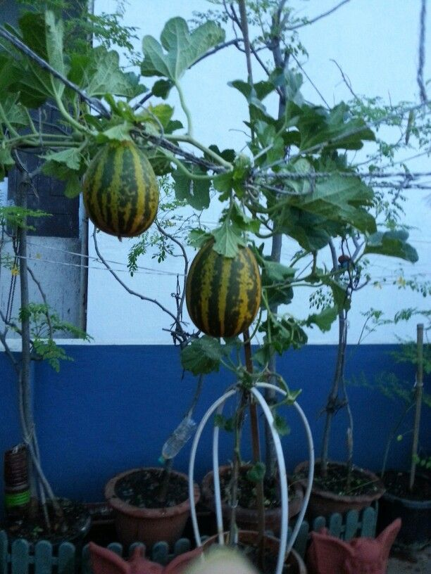 27 best terrace gardening indian homes images on for Terrace vegetable garden india