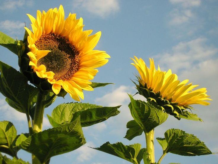 7-sunflower-wallpapers-1024 |