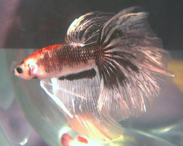 17 best images about beautiful bettas fantastic fish on for Cute betta fish