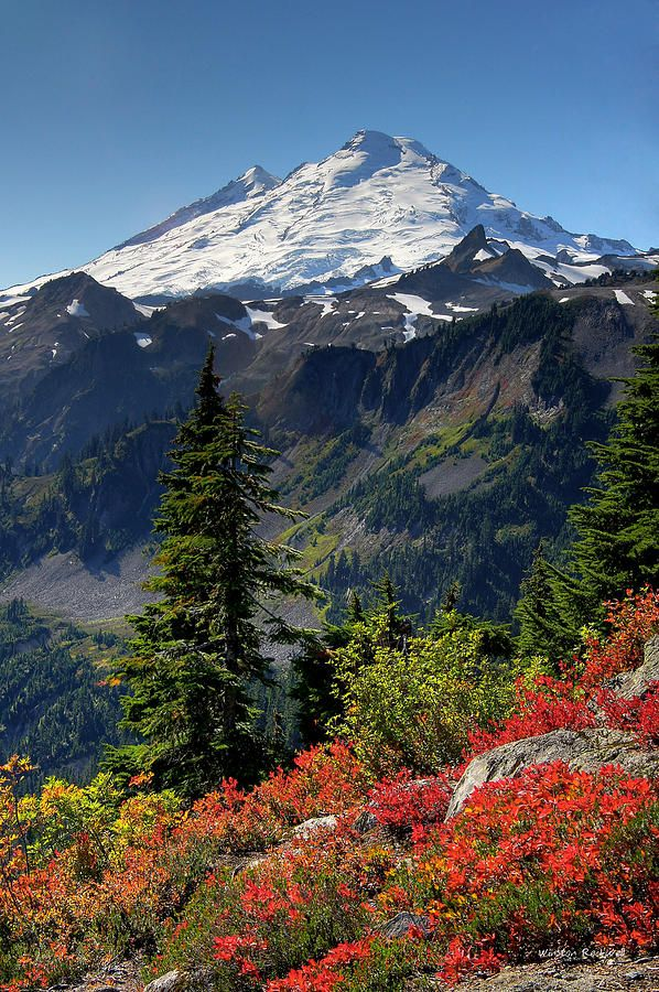 ✯ Mt. Baker rises majestically above a splash of fall color along the Artist Ridge Trail in the Mt. Baker national forest of Washington