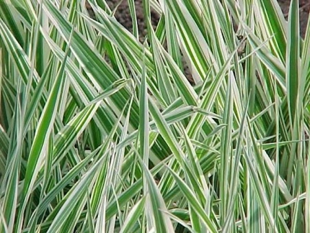 Phalaris plants foliage flowers and look pinterest for Grass looking bushes