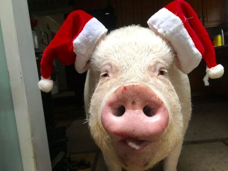 funny pig wearing two Santa's hats on ears