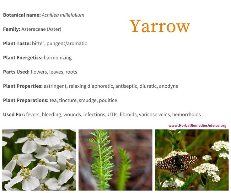 The yarrow plant is a harmonizing herb that regulates the blood, heals and disinfects wounds, treats urinary tract infections and is incredibly valuable for symptoms of a cold or flu. This is an important herb to get to know well because it is used in many ways and it grows everywhere.