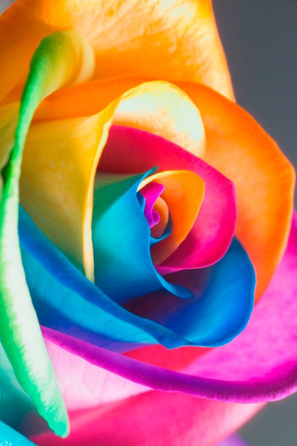 Raimbow rose…… use your immagination with colors