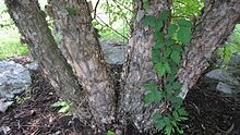 Betula nigra - Wikipedia, the free encyclopedia
