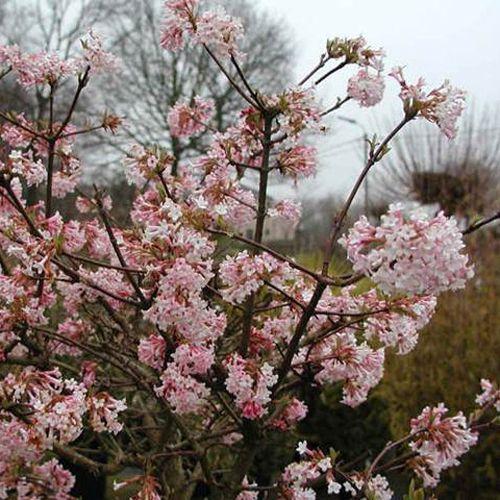 Viburnum bodnantense 'Charles Lamont' (Sneeuwbal) dichte trosjes in winter, lekker geurend, bloeit al rijk op jonge leeftijd, na bloei rode gloed over blad