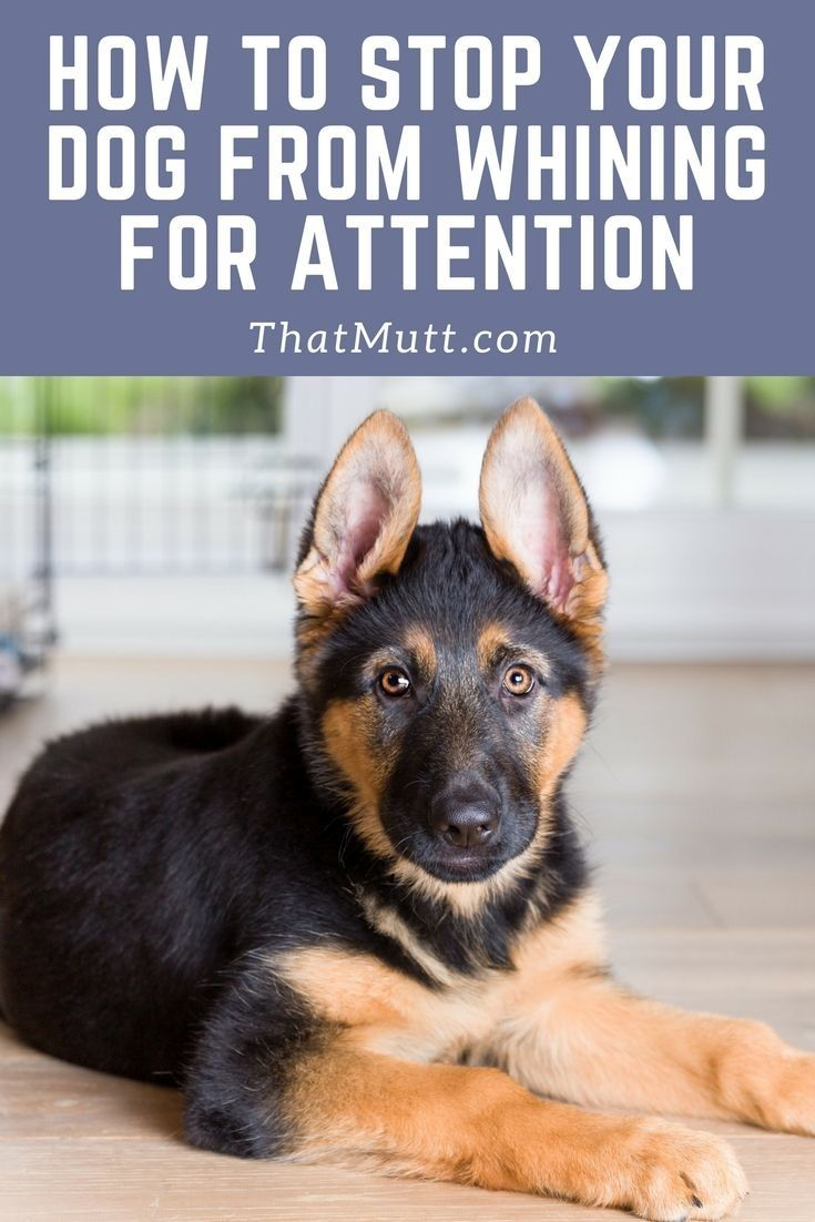 How To Stop A Dog From Crying And Whining For Attention That Mutt Dog Whining Puppy Training Training Your Dog