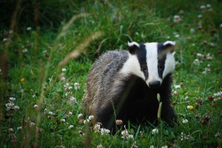 Taken at Badger Watch, Dorset.
