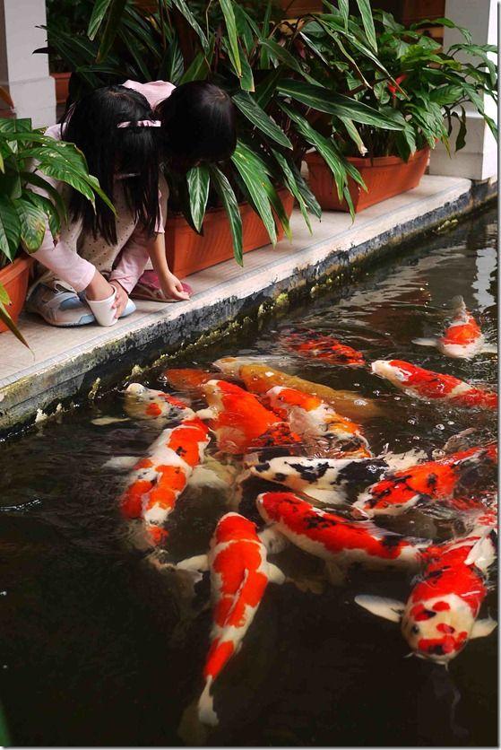 Children feeding koi cameron highland resorts malaysia for Estanque peces koi