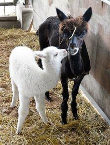 お母さんのフリッサに甘えるアルパカの赤ちゃん(左)=富津市のマザー牧場
