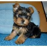 Tiny Teacup Yorkie for Adoption in NC