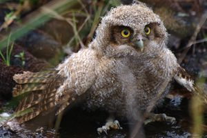 A-Z list of owl species, with notes about which owls are threatened or endangered. Which types of owls have you seen?
