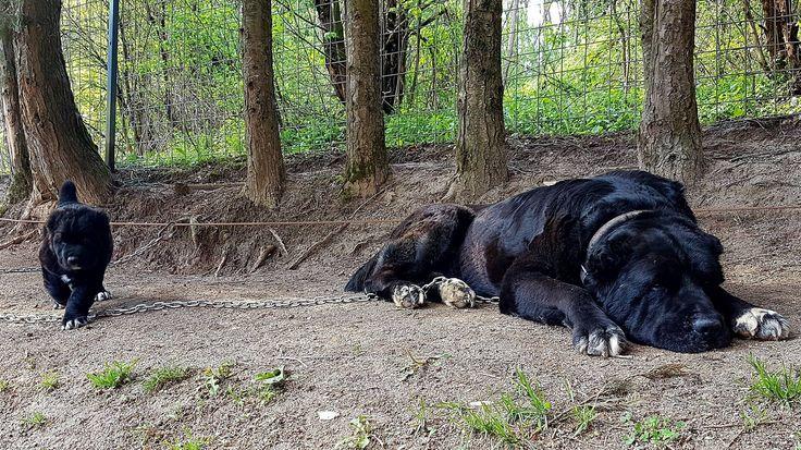 Бойцовые собаки (булли кутта, питбуль, алабай)