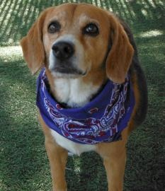 Mozart, a 10 years 5 months Beagle available for adoption in PHOENIX, AZ