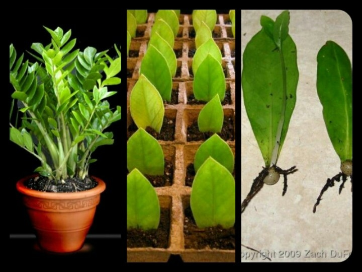 Lucky Plant Plants And Gardens Pinterest Lucky Plant