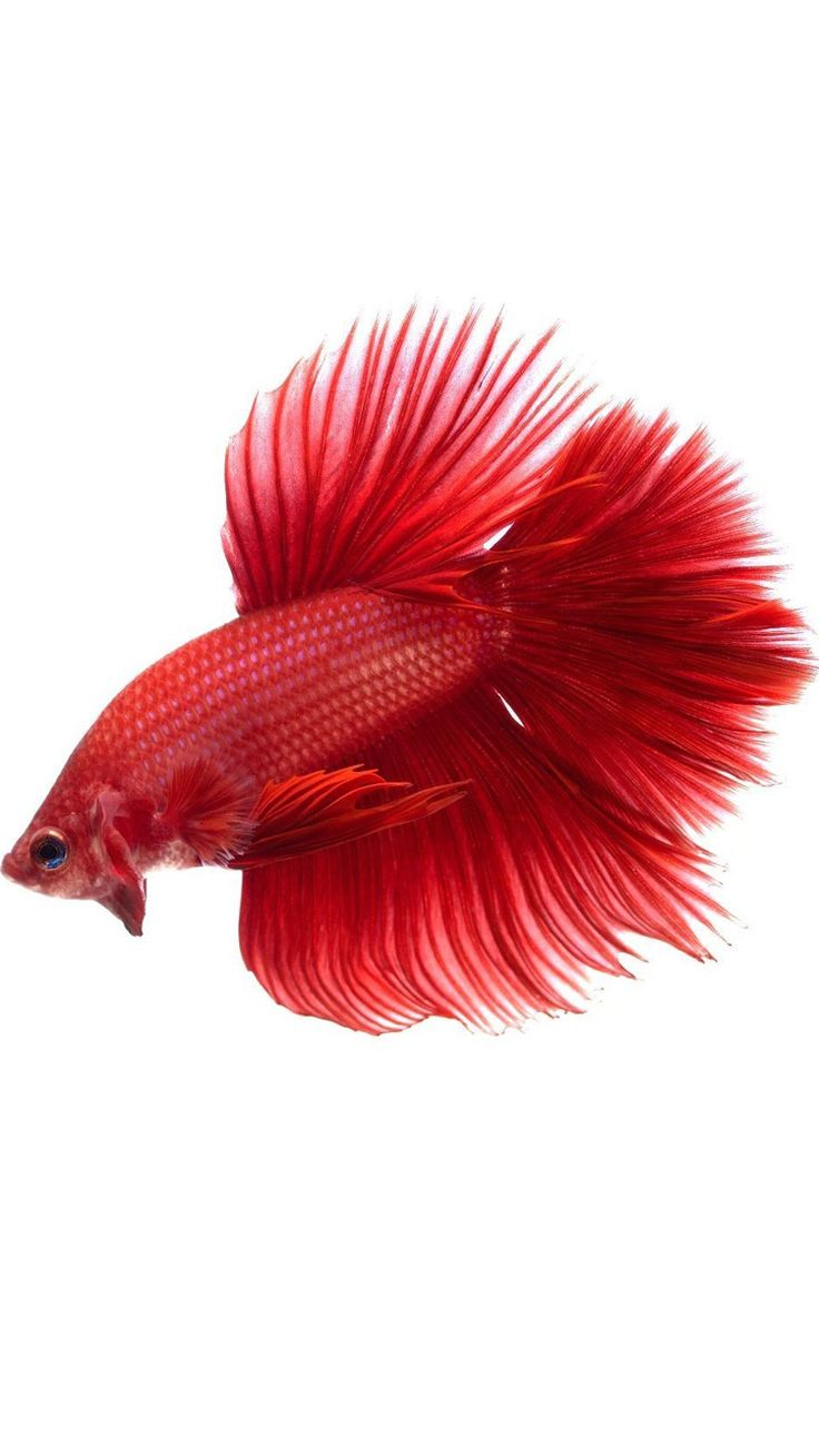 Wallpaper iphone ikan - Apple Iphone 6s Wallpaper With Red Halfmoon Betta Fish In White Background