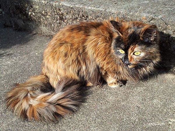 Tortoiseshell cats can be long or short hair and have formidable personalities called Tortitude. Males are rare.