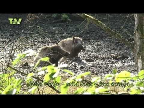 Wild Peers: Happy pigs in the mud! Wild zwijn - Wild boar - Sus scrofa - YouTube