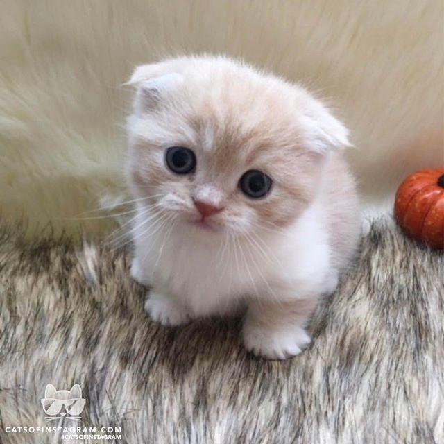 """Aus @ScottishFoldMunchkins: """"Little Pumba weiß, dass er bezaubernd ist und hat uns …   – Cats"""