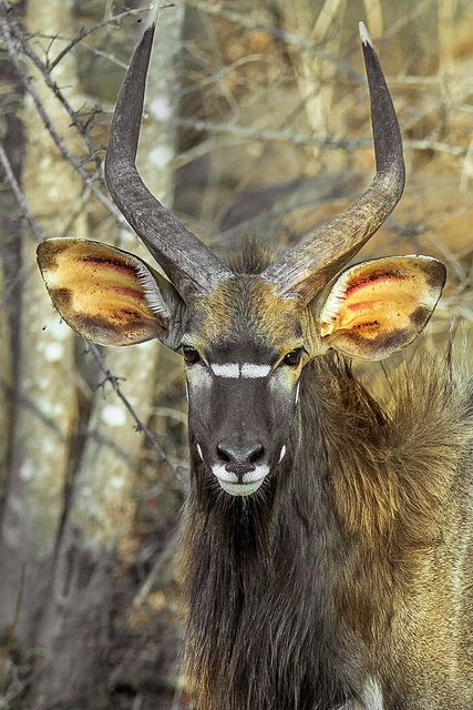 """""""The distinctive nyala is halfway in size between a bushbuck and a kudu. The male stands up to 115cm tall and weighs up to 108kg. His shaggy charcoal-grey coat is set off by rufous knee-length 'stockings', a long white crest along the spine and powerful horns, twisted once and tipped with yellow. The female, by stark contrast, has a sleek chestnut coat."""" www.bradtguides.com"""