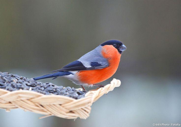 Quel bel oiseau que le bouvreuil pivoine ! Le dos gris, le poitrail et le ventre orangé (mâle) ou gros-orangé chez la femelle. Cet oiseau calme chante de manière très discrète.