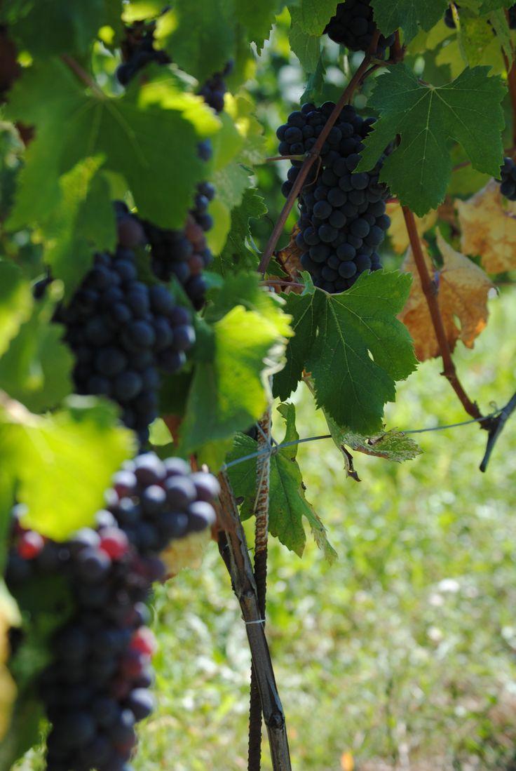 Grapes from Barbaresco - Nebbiolo (Piemonte, Italy) #wine #Piedmont