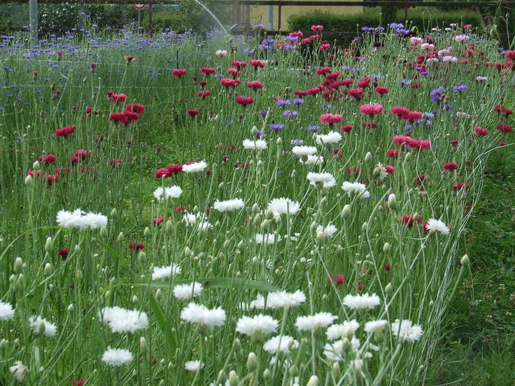 #fiordaliso fioritura 2014 #cornflower www.fattoriadelleerbe.it