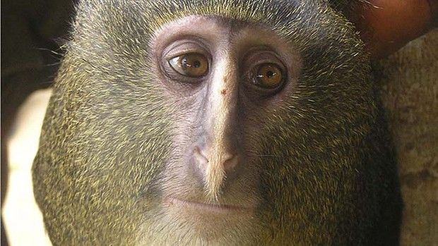 New monkey species found in the Congo. Wow.