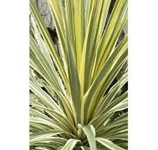 Cordyline Torbay Dazzler Gardening should be fun and this is a fun plant. A symphony of stripy cream, greenand pink, a lovely punctuation point in an avant garde planting. From the Botanic Nursery