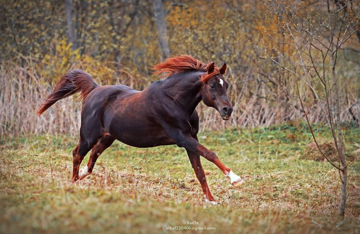 color of fire! || black seal bay horse star galloping fall